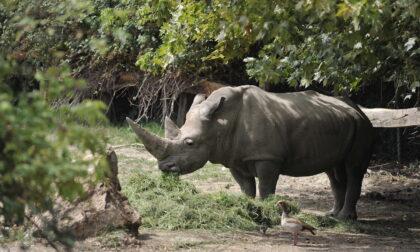 """Addio """"nonno"""" Toby: si è spento il più anziano rinoceronte al mondo al Parco Natura Viva"""